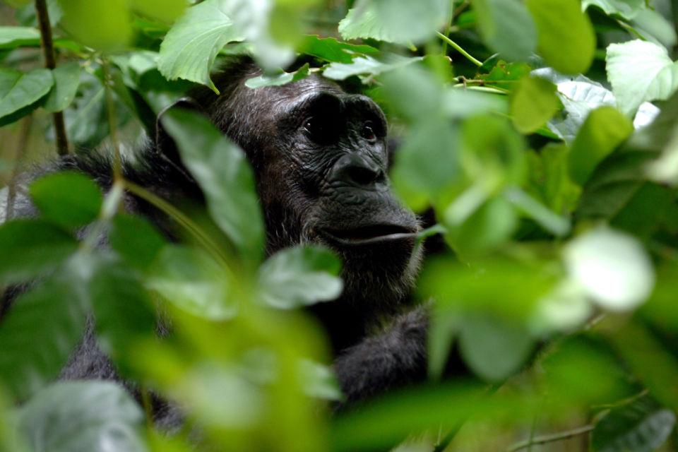 primate-safari-gallery-tanzania-greystoke-mahale-chimpanzee-trekking