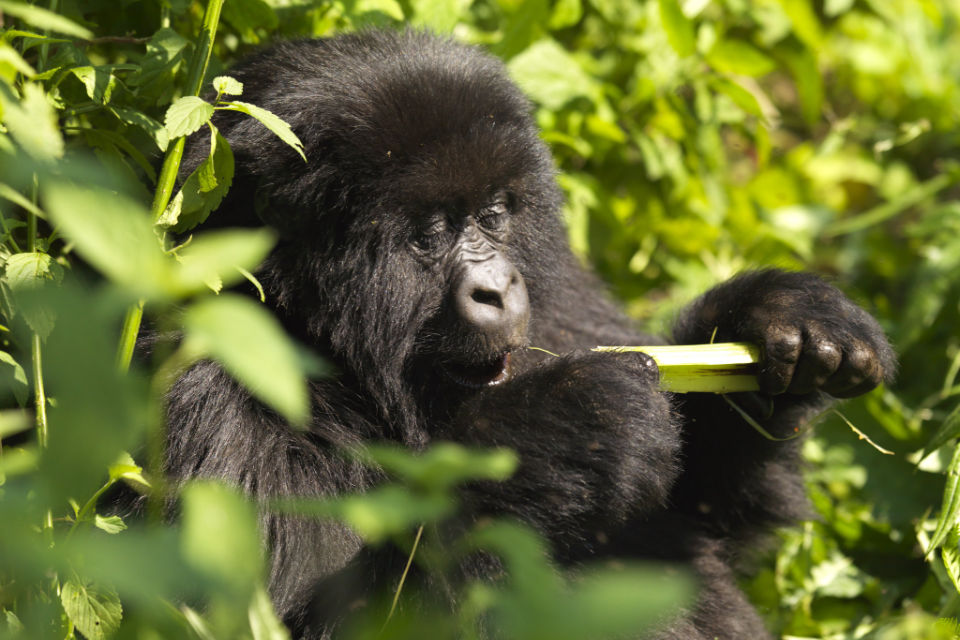 rwanda-gallery-gorilla