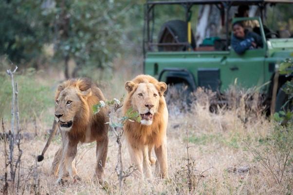 Lions South Luangwa Zambia