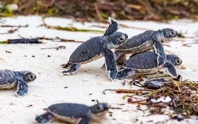 Turtle Hatching Season Starts in Kenya