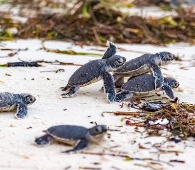 Turtle Hatching Season Starts in Kenya