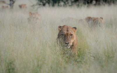 Trying to Outsmart Lions