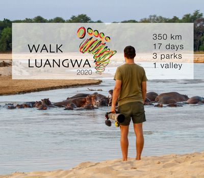 Walk Luangwa 2020 – An Update from Zambia