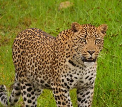 New Leopard Cubs at Kwandwe – South Africa